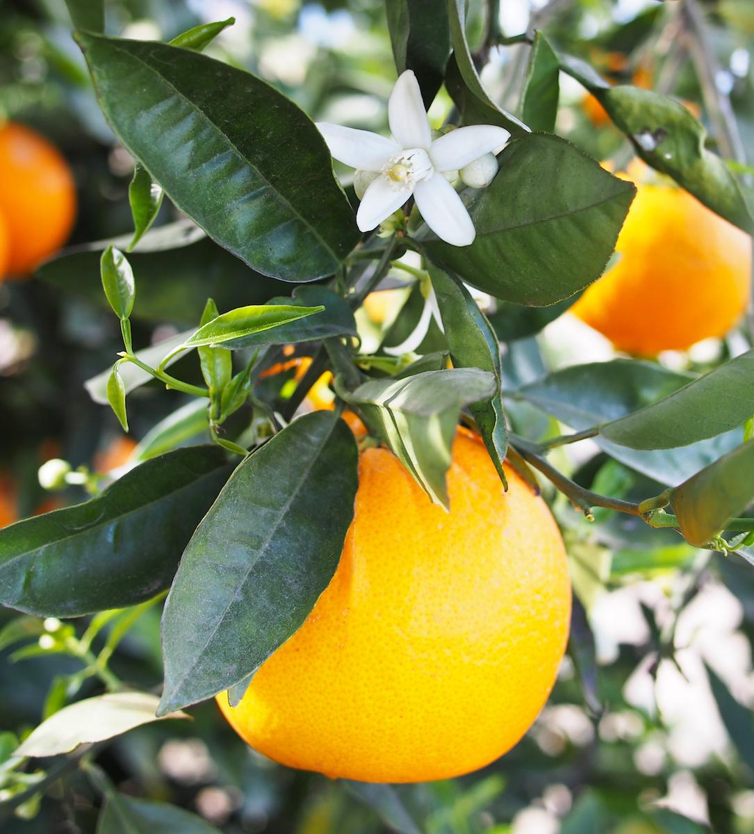 Апельсиновый цветок