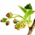 Цветок черной смородины