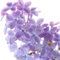 Green Lilac
