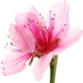 вишневый цвет