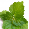 Indonesian Patchouli Leaf