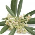 Цветок оливкового дерева