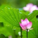 Perfumed Horoscope May 18 - May 24