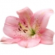 The Power of Beauty: Lily in Fragrances