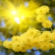 Acacia (Yellow Mimosa)