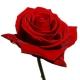 Luscious Roses by Joanne Bassett