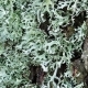 Oakmoss in Fragrances
