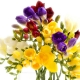 Freesia, Flower of Electric Freshness