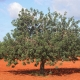 Carob Tree