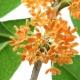 Perfume Note - Osmanthus Blossom