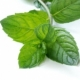 Mint as a perfume note