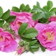 Scented Snippets: Aftelier's Wild Roses: What's In a Name ?