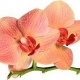 New Releases from Olympic Orchids