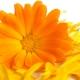 Perfumed Horoscope: August 11 - 17