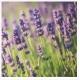 My Favorite Lavender Fragrances, Part II of III