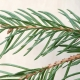 Christmas Scents: Part I, Spruce