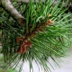 Christmas Scents: Part V, Pine