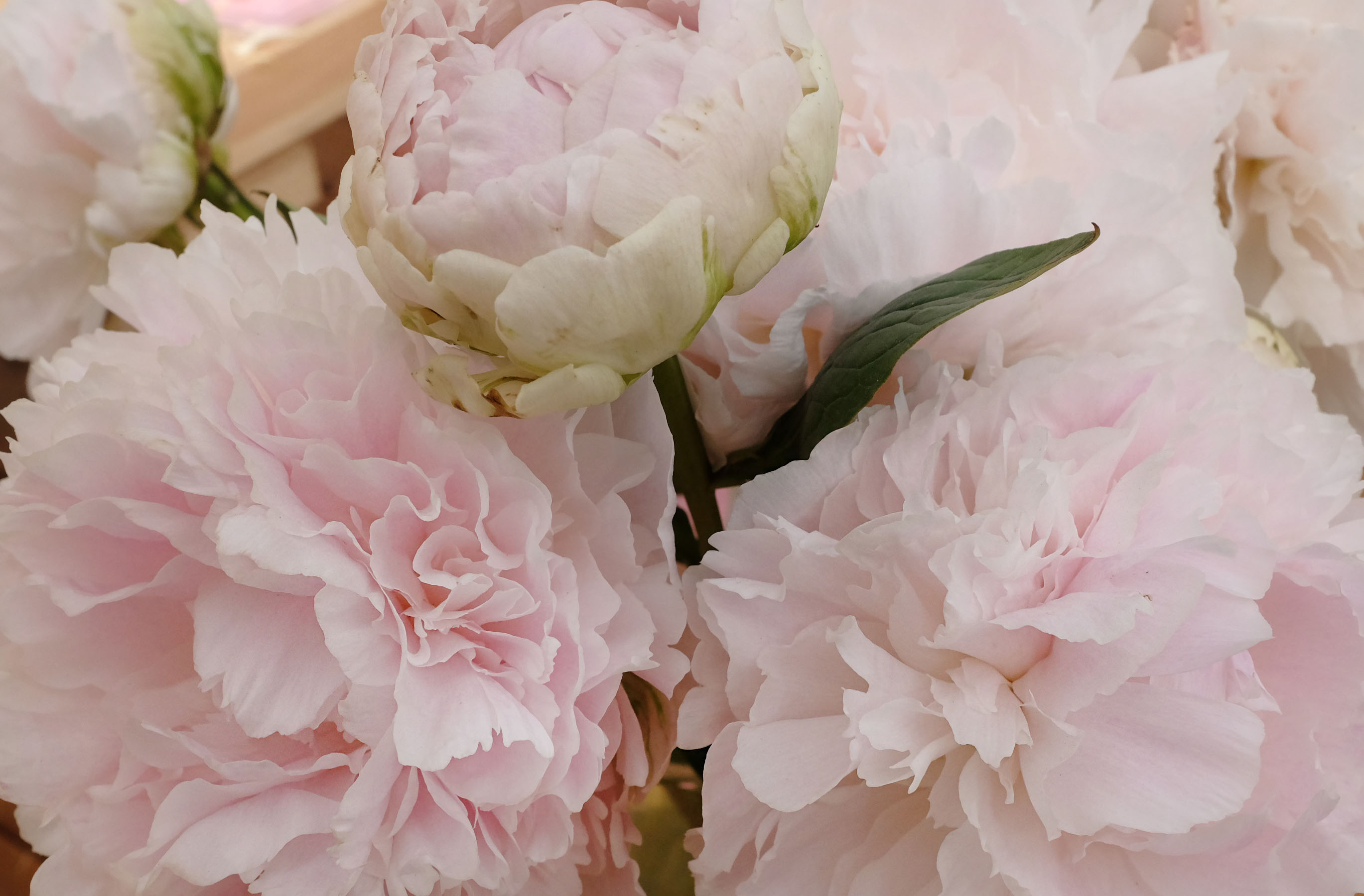 Peonies in Perfumery and Cultivation ~ Raw Materials