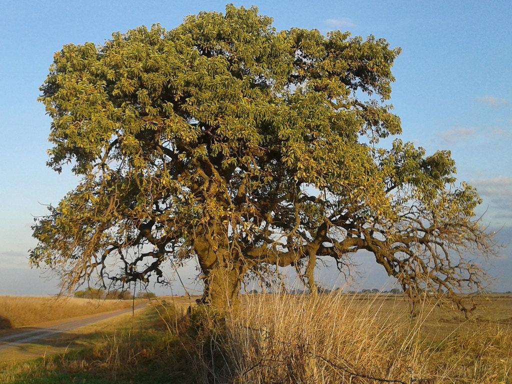 дерево омбу картинки