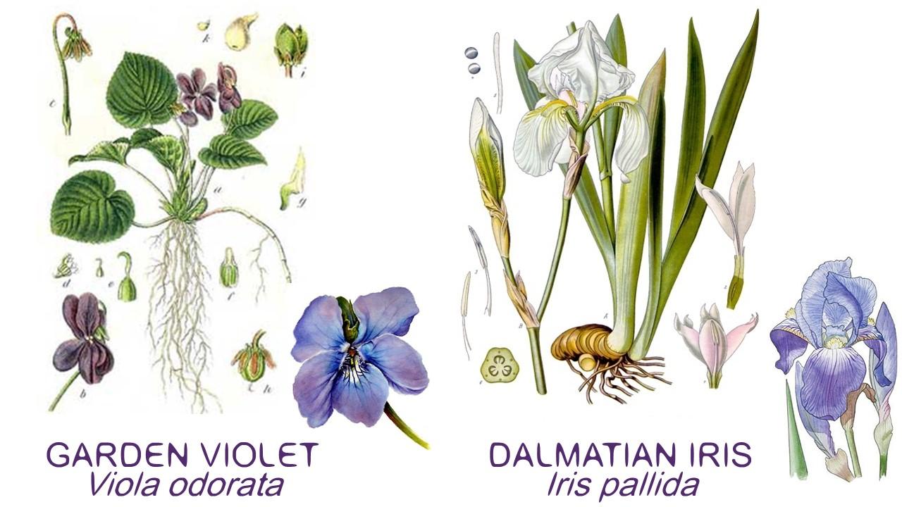 viola odorata botanix