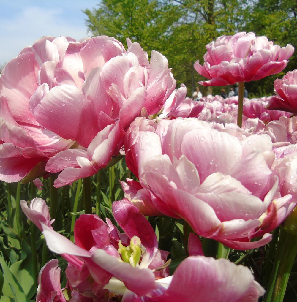 Novae Plus Miss Caty Cat: Morning Dews, Flower Bud, Sunshine ~ New ...