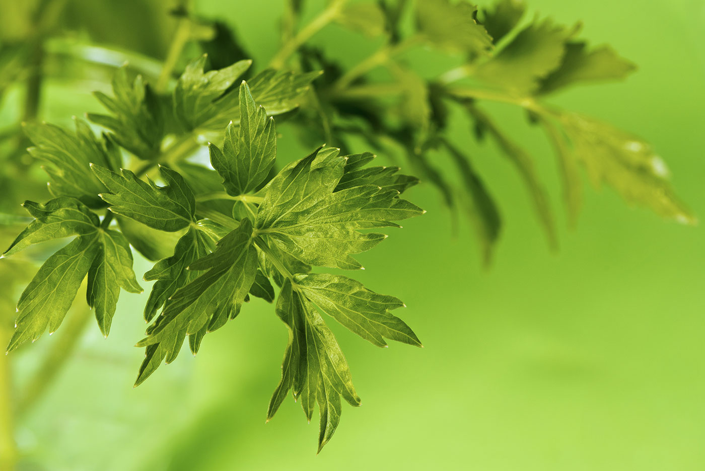 Of Love And Herbs Lovage Love Potion Raw Materials