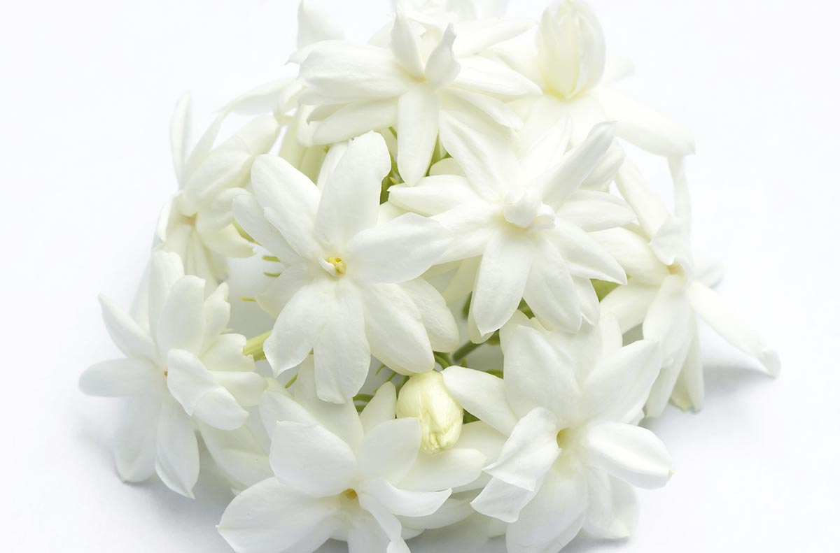 Jasmine perfume ingredient jasmine fragrance and essential oils of 3 to 12 together at the ends of branches they are strongly scented with a white corolla the flowers open at night and close in the morning izmirmasajfo