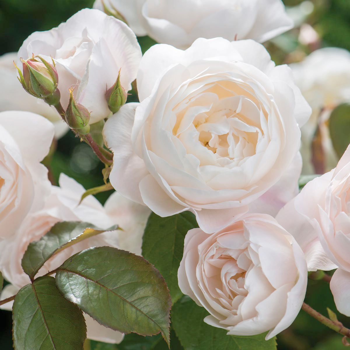 English Roses Interview With The Famous Rosarian David Austin Vintage Story Rose Flower Pink Rosa Desdemona