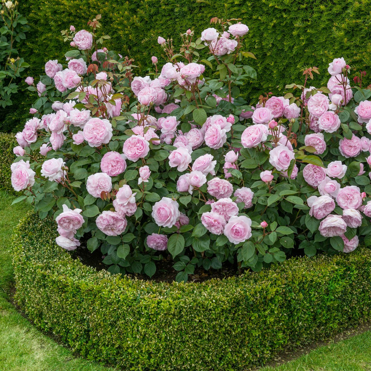 English Roses Interview With The Famous Rosarian David Austin Vintage Story Rose Flower Pink Olivia