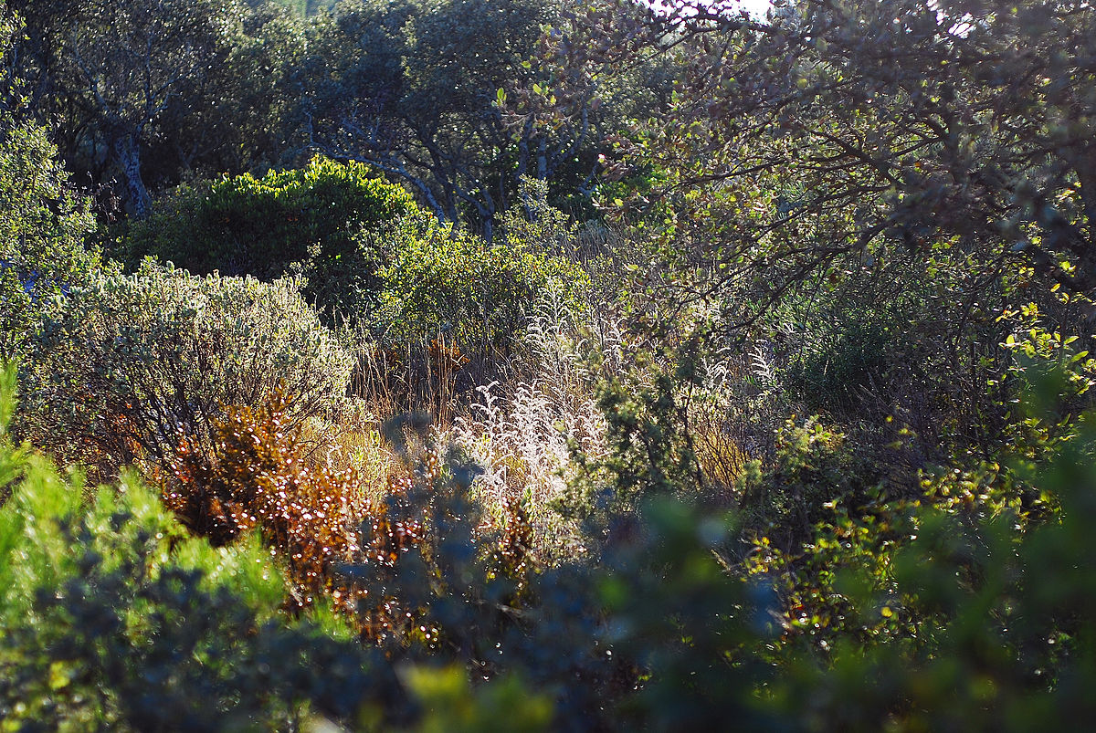 Garrigue countryside in souther europe full of aromatic shrubs