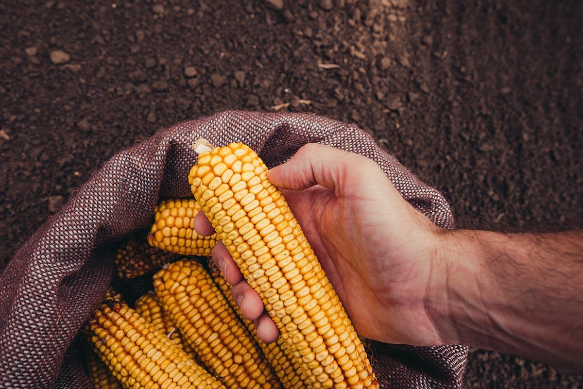 Hands harvesting corn in the autumn