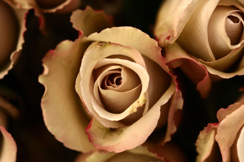 Είναι κεχριμπάρι τριαντάφυλλο που βγαίνει με ένα κορίτσι