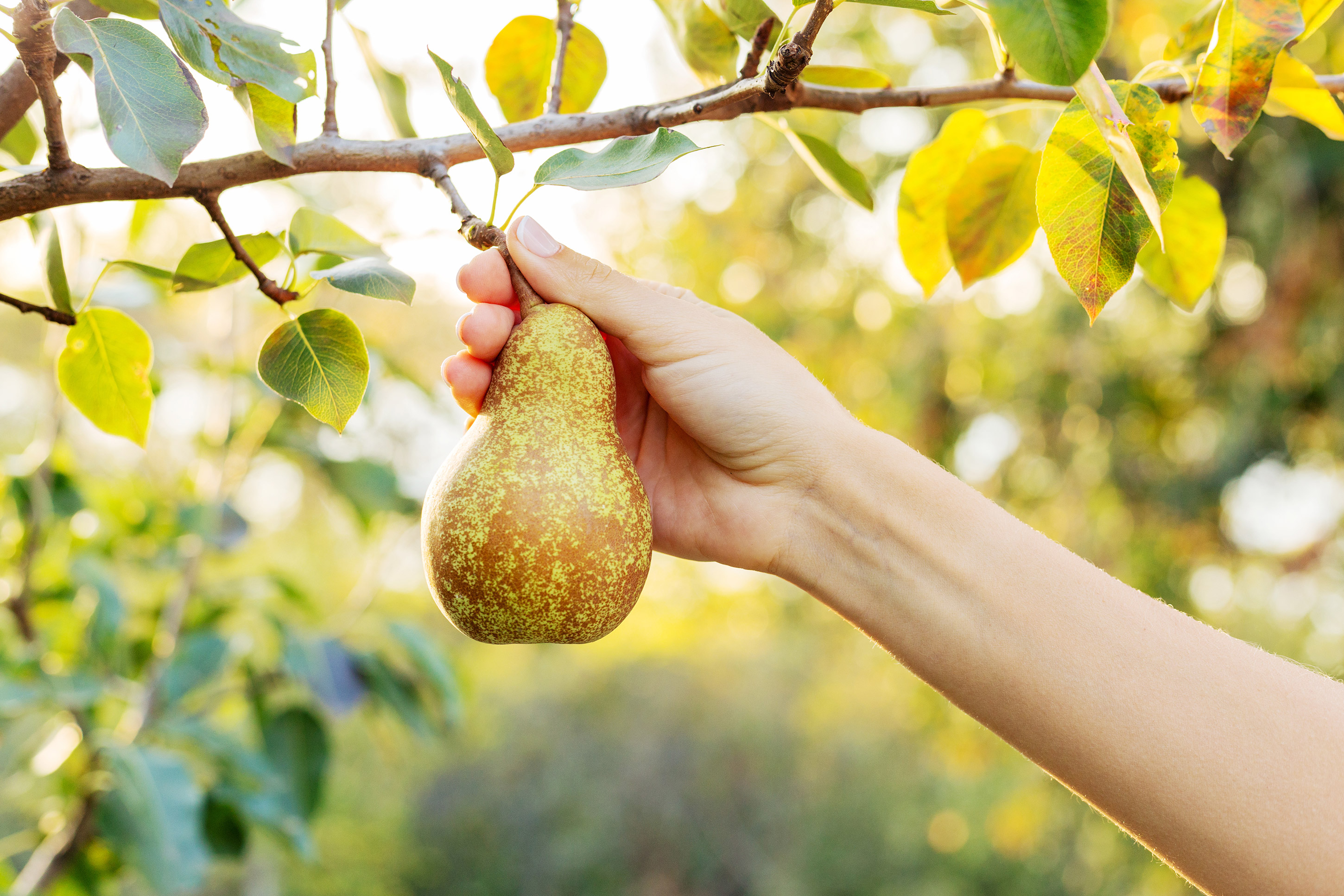 Angelys Pear Fruit Of Knowledge Fruit Of Joy Fragrance Reviews Most often, this applies when an individual has missed some cue to stop, thus creating a useless or bothersome excess. angelys pear fruit of knowledge fruit