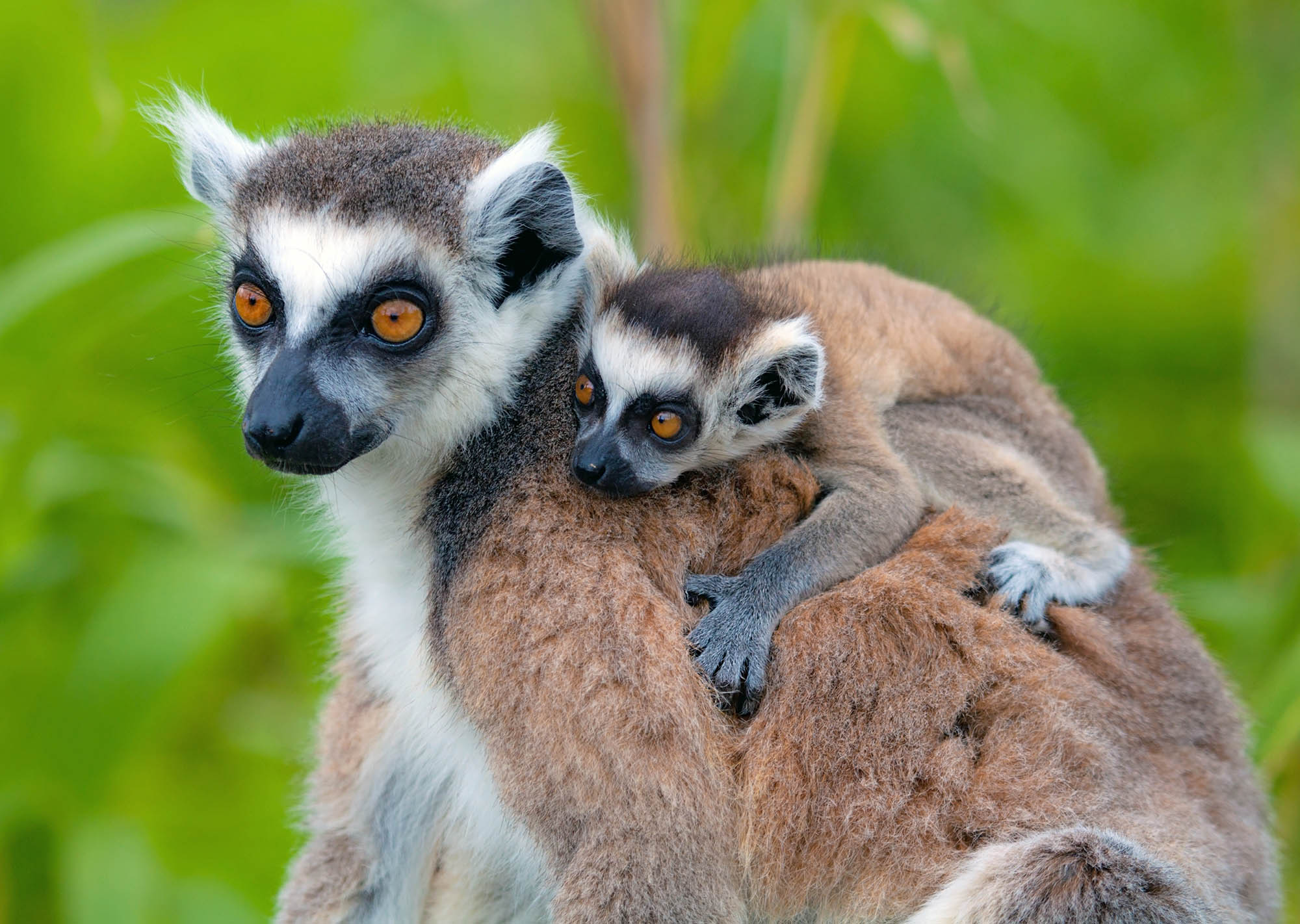 Mother Lemur and baby in Madagascar.