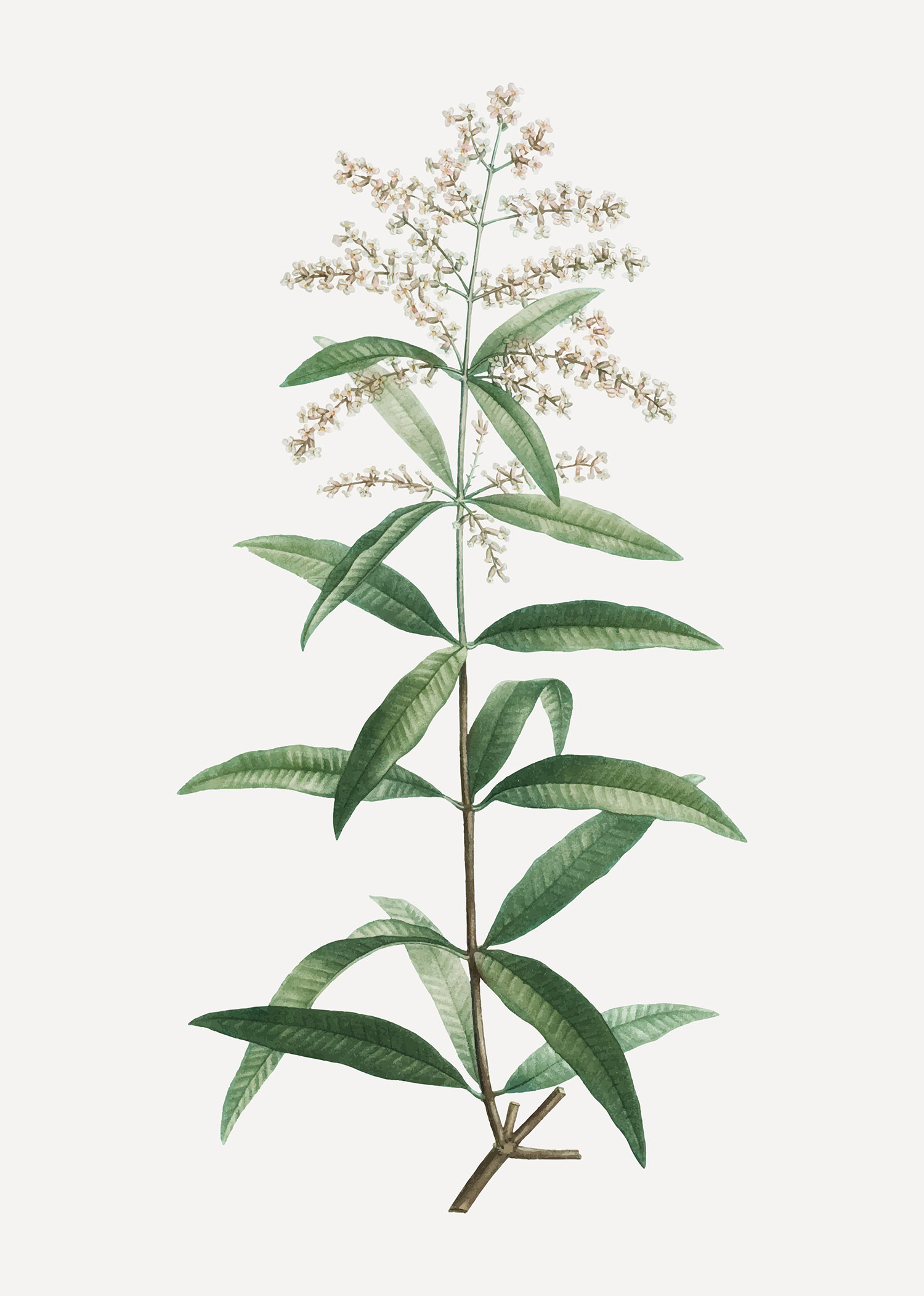 Lemon Verbena plant.