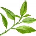 Bergamot Leaf