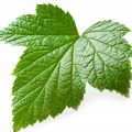 Red currant leaf