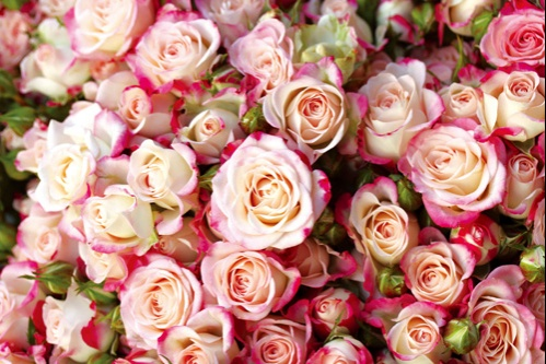 Roses Et Reines Jardin Secret L Occitane En Provence