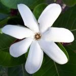 Jasmine in Different Cultures