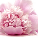 Peony - Good Fortune, Compassion, Nobility