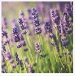 My Favorite Lavender Fragrances, Part I of III