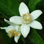 Neroli Animalis: Blooming In A Stable