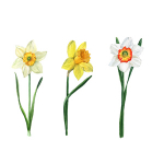 Color and Smell, Part V: Narcissus