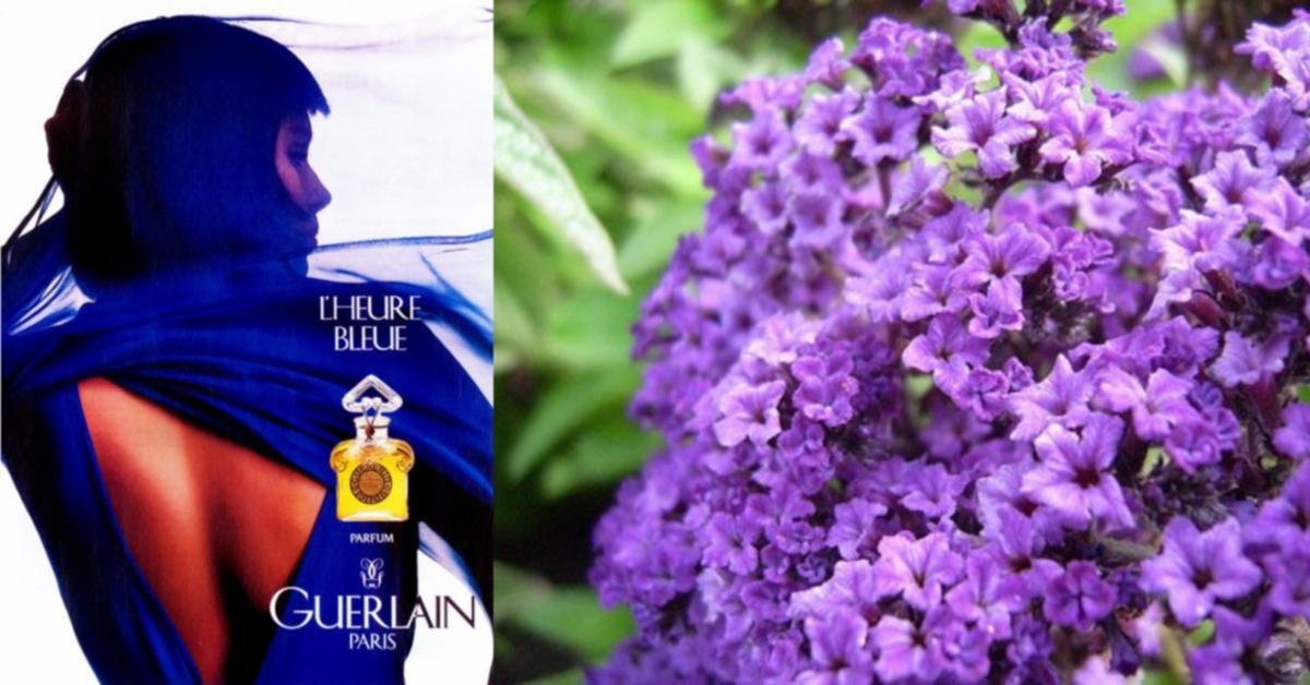 Heliotrope in Perfumes ~ Raw Materials