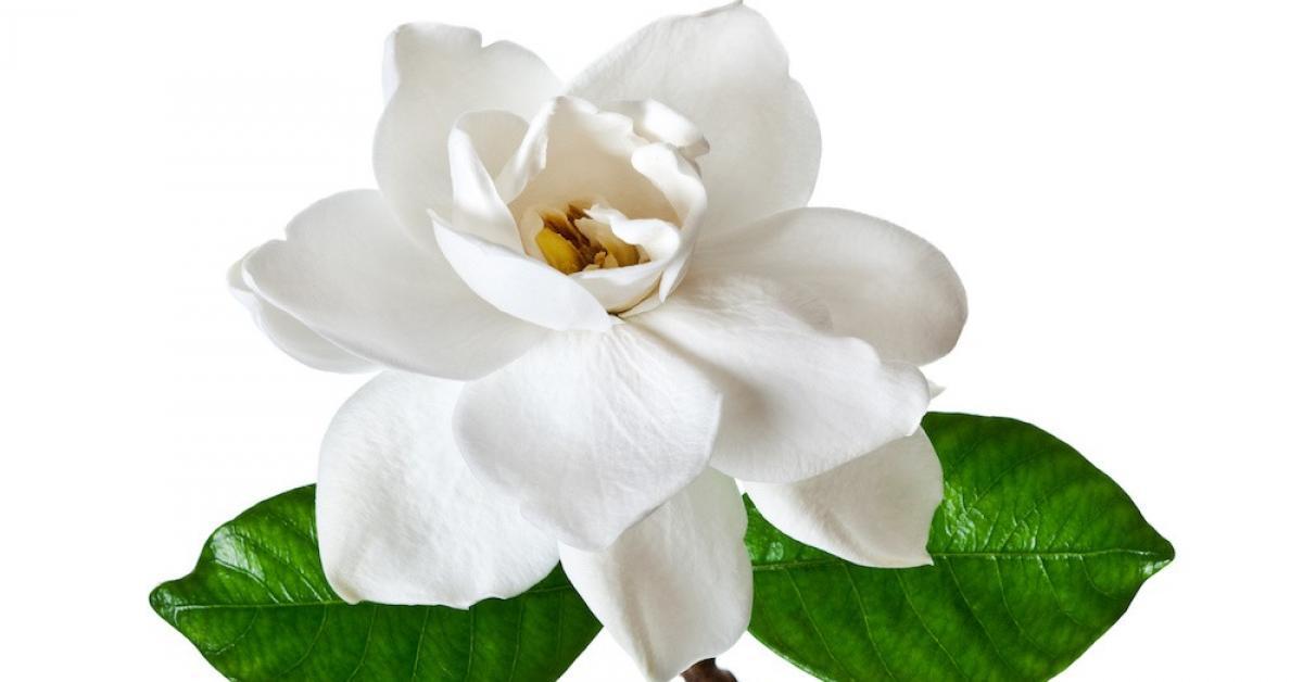 Bargain fragrances jovan island gardenia bargain fragrances mightylinksfo