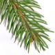 Fir: the Christmas Tree
