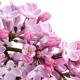 Lilac (Syringa spp.)
