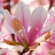 Magnolia in Nature and Perfumes