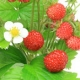 Wild Strawberry in Russia