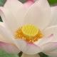 Perfumed Horoscope: June 20 - June 26